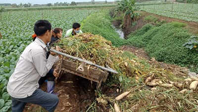Hà Nội: Nông dân vứt rau củ trắng đồng do không có người mua