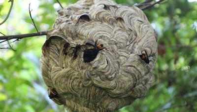 Một trưởng thôn bị ong đốt tử vong