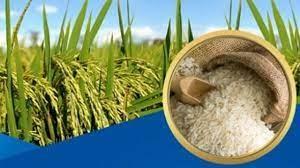 Giá lúa gạo tại Đồng bằng sông Cửu Long tăng nhẹ