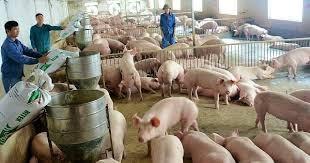 Dự báo giá lợn hơi sẽ tăng