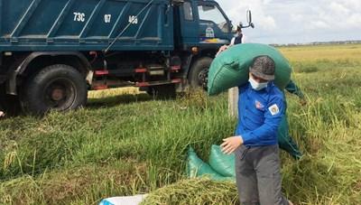 Gặt lúa giúp nông dân ở khu vực phong tỏa