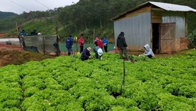 Tỉnh Lâm Đồng hỗ trợ các địa phương phía Nam hơn 6.000 tấn rau sạch VietGAP