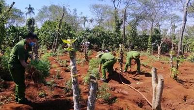 Bắt quả tang 2 anh em ruột trồng hơn 1.500 cây cần sa