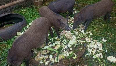 Chưa thể khống chế dịch tả lợn Châu Phi ở Đắk Lắk