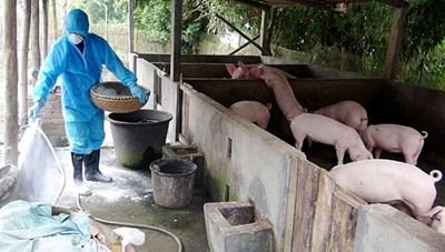 Tiêu hủy gần 6.000 con lợn do tái phát dịch tả lợn châu Phi