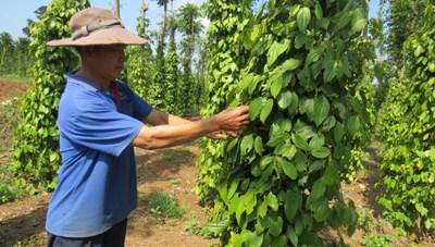 Phú Yên: Giá tiêu tăng lên 100.000 đồng/kg