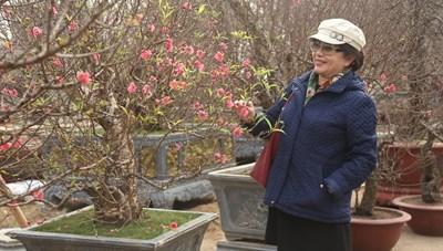 Làng đào Nhật Tân: Nhộn nhịp khách mua, cây đào cổ thụ vẫn được ưa chuộng