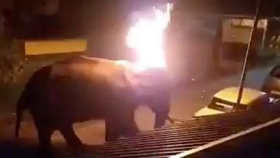 [VIDEO] Chú voi 'chết thảm' vì bị đốt tai