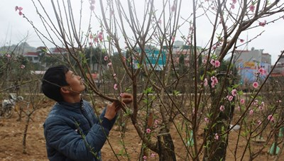 Tạo điều kiện cho người dân mua, bán cây đào Tết thuận lợi