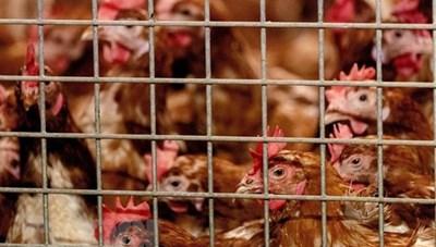 WHO khuyến cáo về khả năng lây nhiễm cúm A/H5N8 từ gà sang người