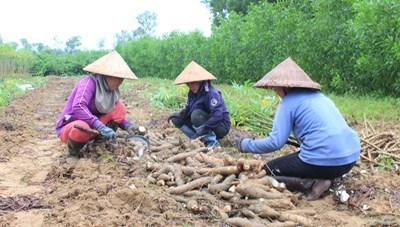 Quảng Nam: Xót xa hàng trăm hec-ta sắn bị hư thối sau lũ