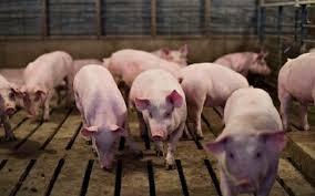 Tiền Giang: Công bố dịch tả lợn châu Phi tại xã Tân Thới