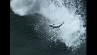 Cận cảnh màn săn mồi cực đỉnh của cá voi sát thủ