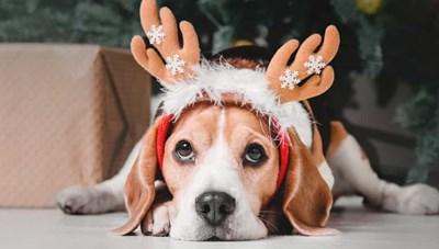 [ẢNH] Khi thú cưng ăn mừng Giáng sinh