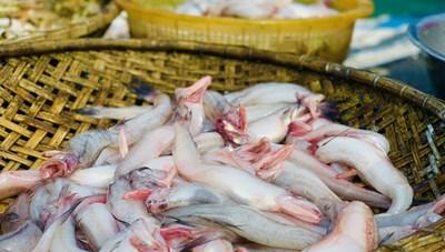 Hà Tĩnh: Ngư dân được mùa cá cháo