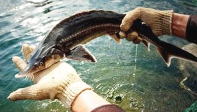 Kiểm soát nhập khẩu cá tầm