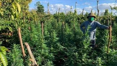 Đắk Lắk: Phát hiện một gia đình trồng trái phép cây cần sa trong rẫy cà phê