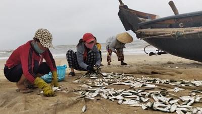 Thừa Thiên – Huế: Ngư dân bãi ngang được mùa cá trích