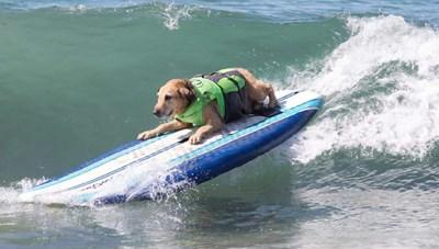 [ẢNH] Lạ lùng chó thi... lướt sóng