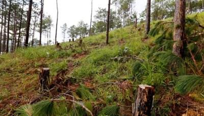 Phát hiện thêm một vụ phá rừng thông để chiếm đất sản xuất