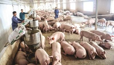 Tái đàn hiệu quả, giá thịt lợn giảm sâu