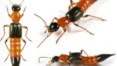 Kiến ba khoang độc gấp 15 lần rắn hổ