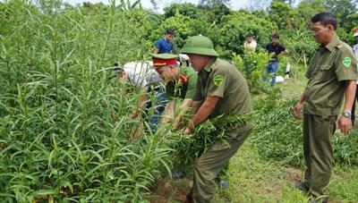 Mua hạt cần sa trên Điện Biên về Hà Nam trồng