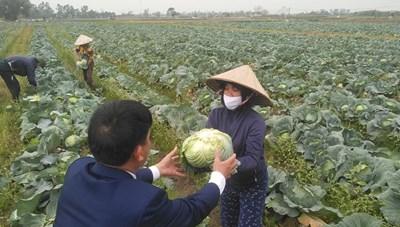 Hải Phòng: Trong 1 ngày, thần tốc 'giải cứu' 60 tấn bắp cải
