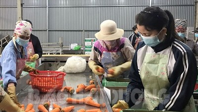 Hải Dương: Xuất khẩu 600 tấn cà rốt mỗi ngày