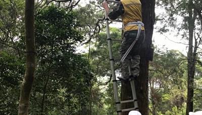 Chuẩn bị trồng thay thế những cây Xích Tùng cổ trên Yên Tử