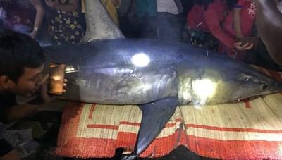 Cá mập xanh nặng 200 kg dạt vào bờ sông Bến Hải