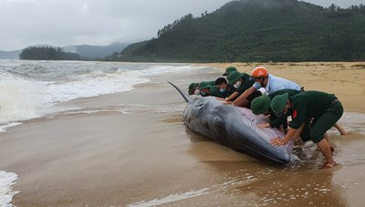 Thừa Thiên-Huế: Giải cứu thành công cá voi dài 10 mét trôi dạt vào bờ biển
