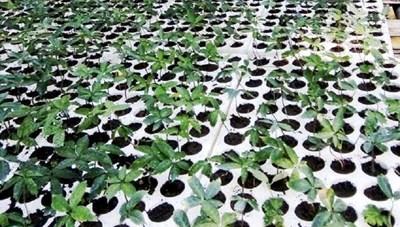 Quảng Nam: Chi 3 tỷ đồng để nuôi cấy mô cây sâm Ngọc Linh