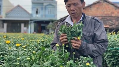 Quảng Ngãi: Kẻ xấu chặt phá gần 400 chậu hoa cúc của người dân