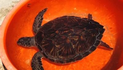 Khu bảo tồn biển Cù Lao Chàm tiếp nhận cá thể rùa biển quý hiếm