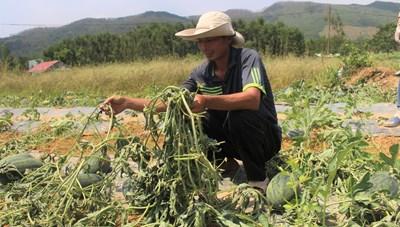 Quảng Nam: Ba sào dưa hấu đến mùa thu hoạch bị kẻ gian phá nát trong đêm
