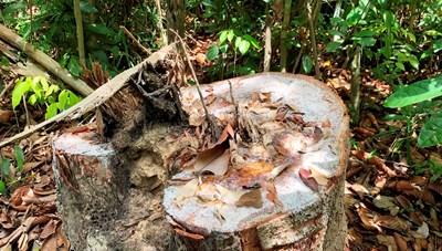 Tỉnh Quảng Ngãi yêu cầu kiểm tra vụ 'đốn hạ hàng chục cây dầu rái cổ thụ'