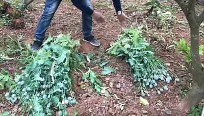 Bắc Giang: Hàng loạt người dân trồng thuốc phiện tại nhà để làm rau ăn và nuôi lợn
