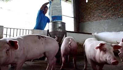 Giá lợn hơi giảm từng ngày, người dân khóc ròng vì càng xuất chuồng càng lỗ