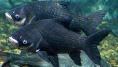 Những loài cá trước nguy cơ tuyệt chủng