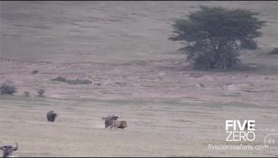 [VIDEO] Sư tử trốn chạy khi bị trâu rừng phản kích