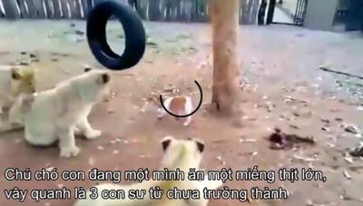 [VIDEO] Chó con chiến đấu với 3 con sư tử 'nhí' cướp mồi