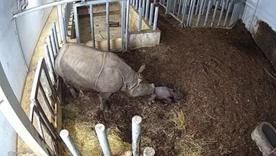 [VIDEO] Khoảnh khắc chú tê giác con được sinh ra tại vườn thú
