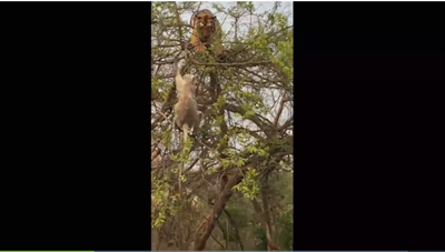 [VIDEO] Hổ đói leo cây tóm 'trượt' chú khỉ thông minh