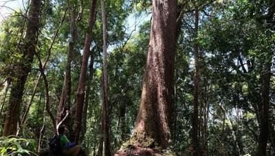 Quyết giữ rừng Pơ mu