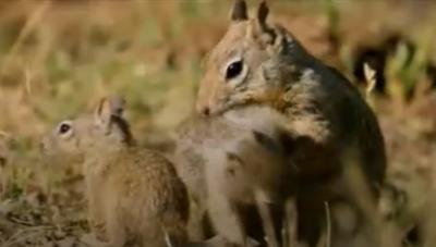 [VIDEO] Sóc chuột thông minh tránh sự 'truy sát' của rắn đuôi chuông