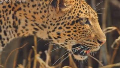 [VIDEO] Báo mẹ tấn công báo đực để bảo vệ đàn con