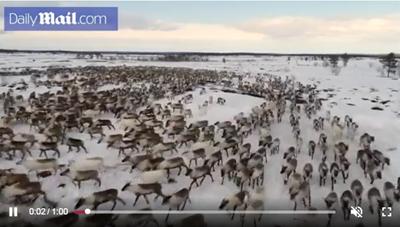 [VIDEO] 'Lốc xoáy' tuần lộc khổng lồ ở Bắc Cực