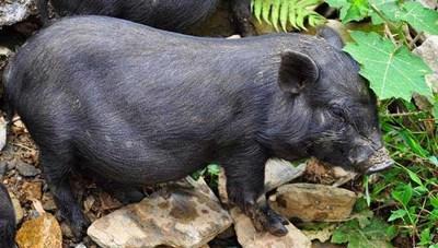 Lợn cắp nách