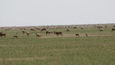 Phát hiện hàng trăm con linh dương Saiga quý hiếm bị chết bí ẩn